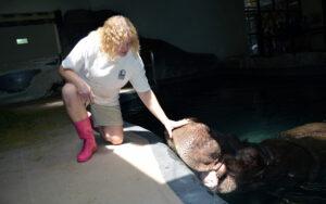 Michelle Szydlowski at work with a hippopotamus